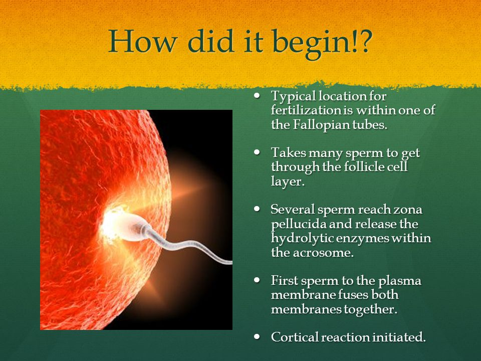 How did it begin! Typical location for fertilization is within one of the Fallopian tubes.