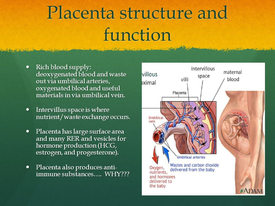 Placenta structure and function