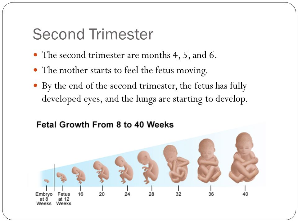 Second Trimester The second trimester are months 4, 5, and 6.