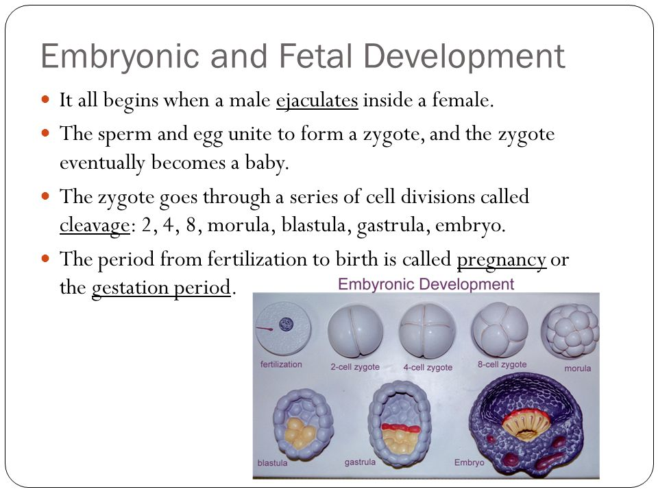Embryonic and Fetal Development