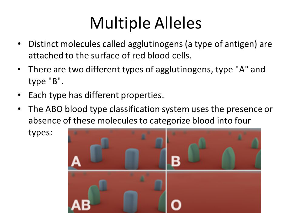 Multiple Alleles Distinct molecules called agglutinogens (a type of antigen) are attached to the surface of red blood cells.