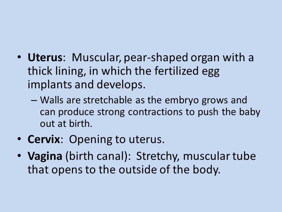 Cervix: Opening to uterus.