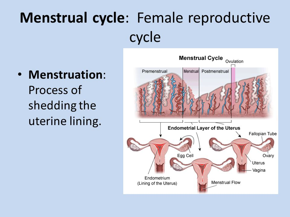 Menstrual cycle: Female reproductive cycle
