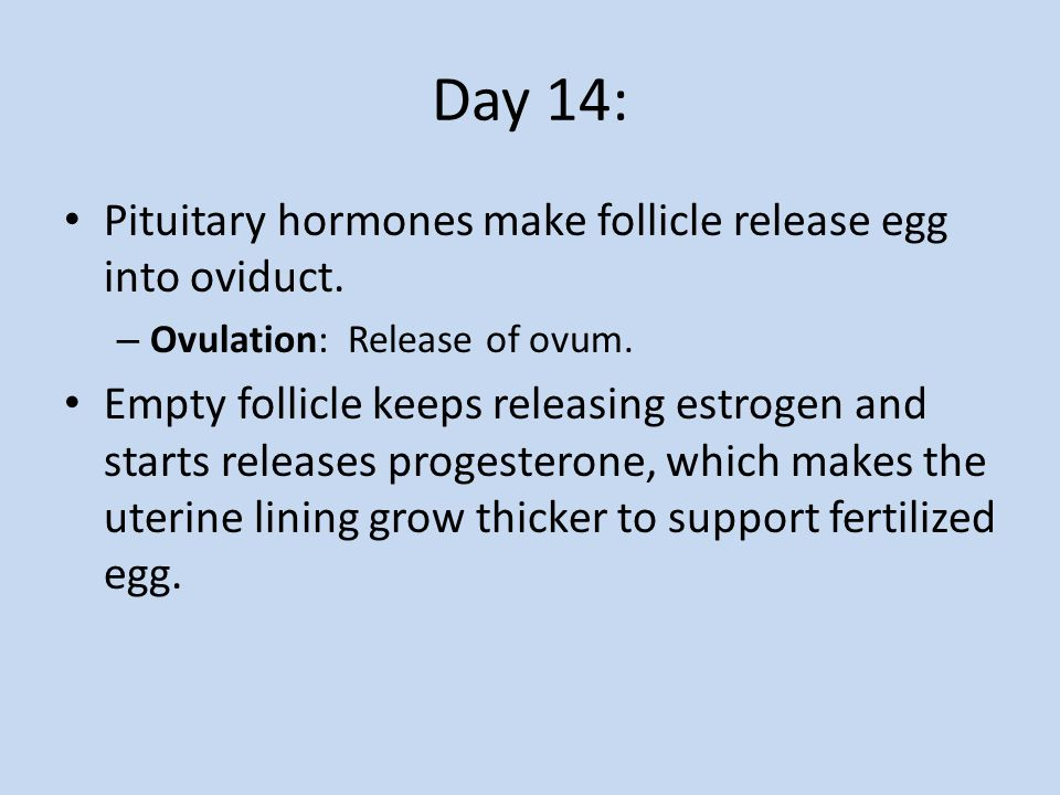 Day 14: Pituitary hormones make follicle release egg into oviduct.