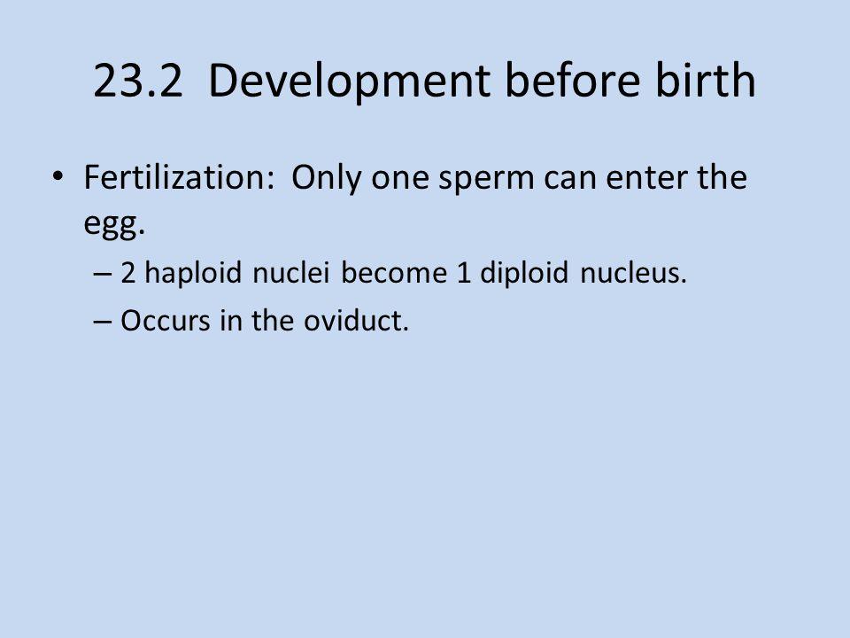 23.2 Development before birth
