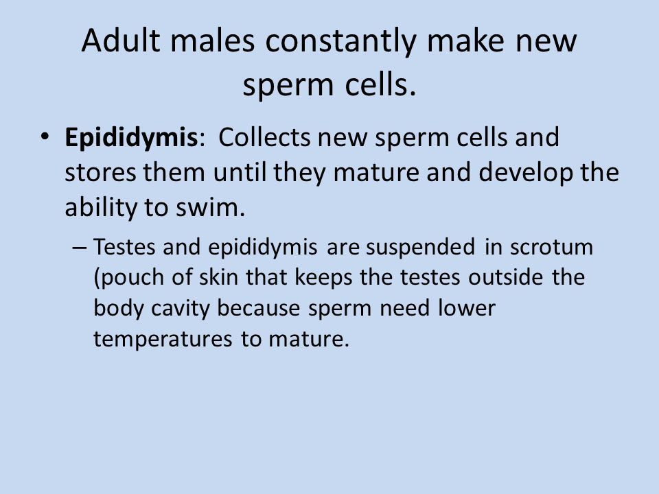 Adult males constantly make new sperm cells.