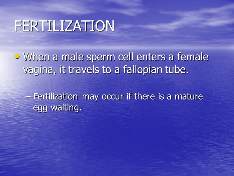 FERTILIZATION When a male sperm cell enters a female vagina, it travels to a fallopian tube.