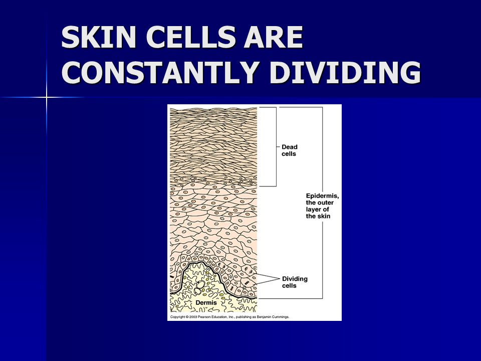SKIN CELLS ARE CONSTANTLY DIVIDING