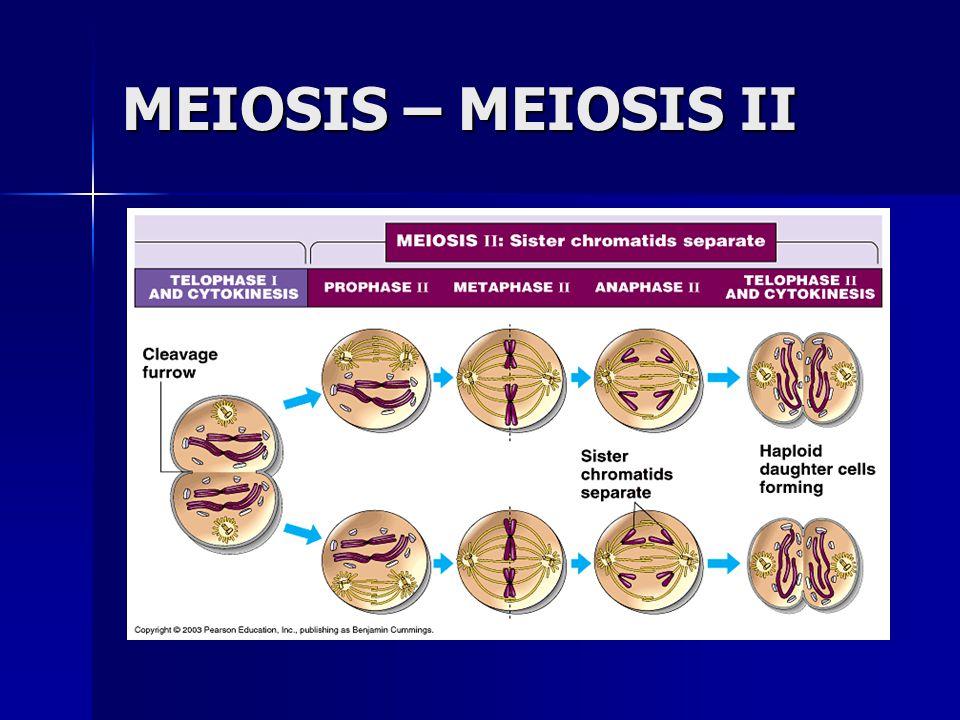 MEIOSIS – MEIOSIS II