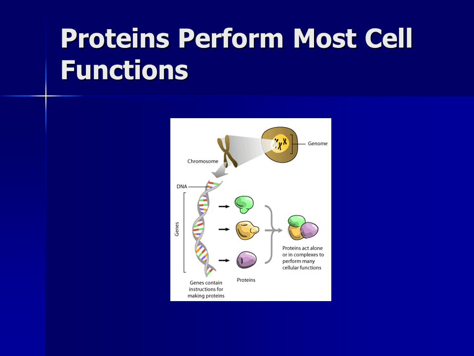 Proteins Perform Most Cell Functions