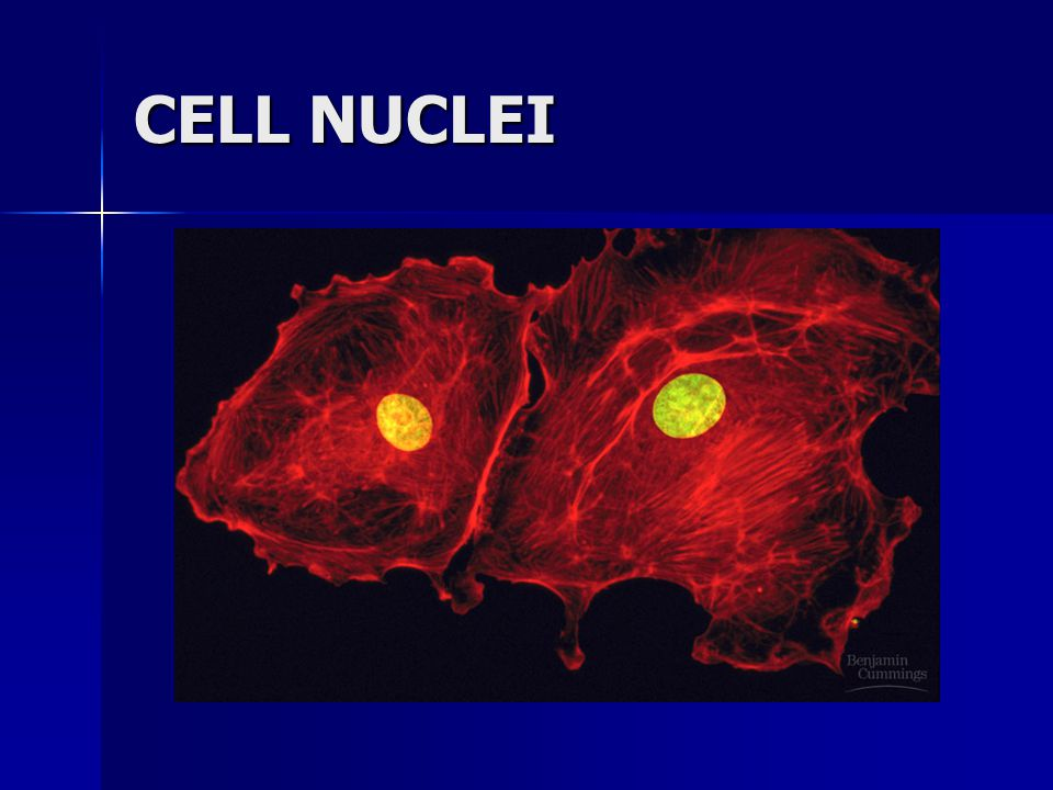 CELL NUCLEI