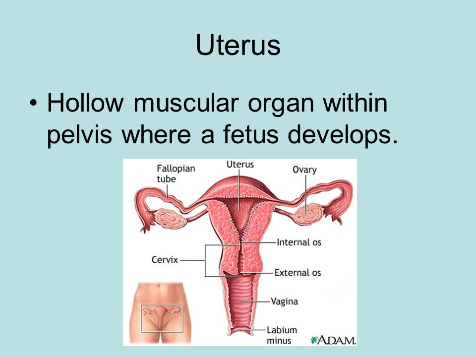 Uterus Hollow muscular organ within pelvis where a fetus develops.