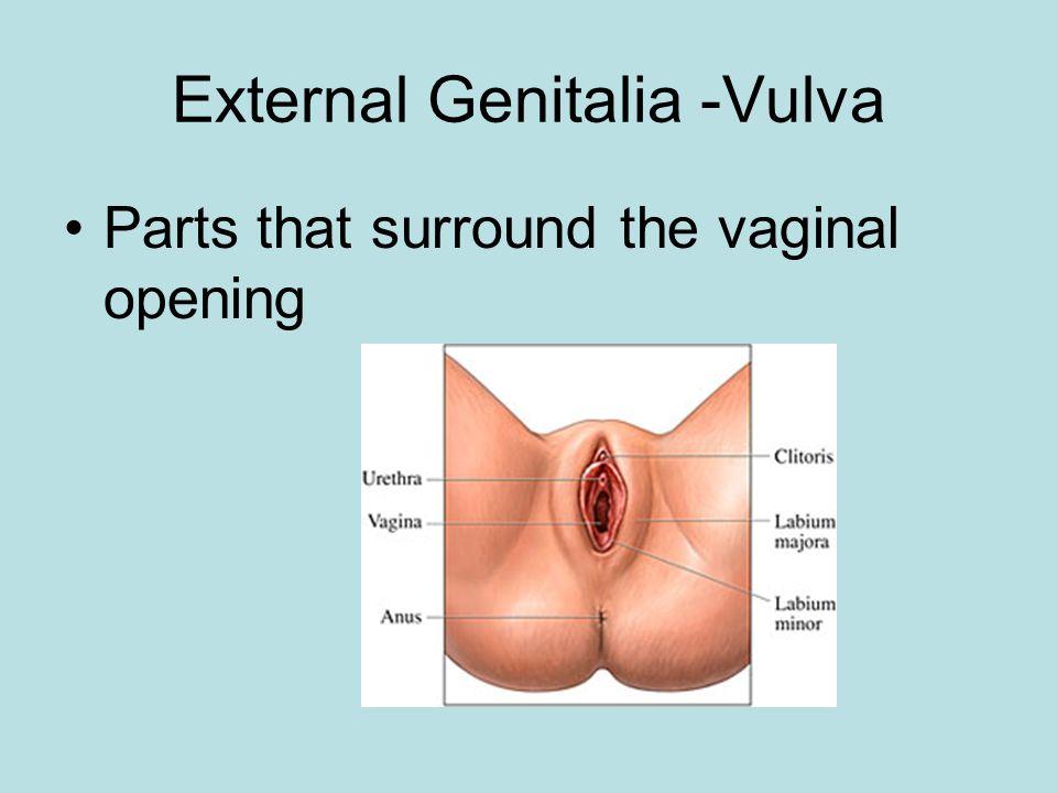 External Genitalia -Vulva
