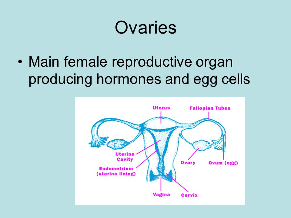 Ovaries Main female reproductive organ producing hormones and egg cells