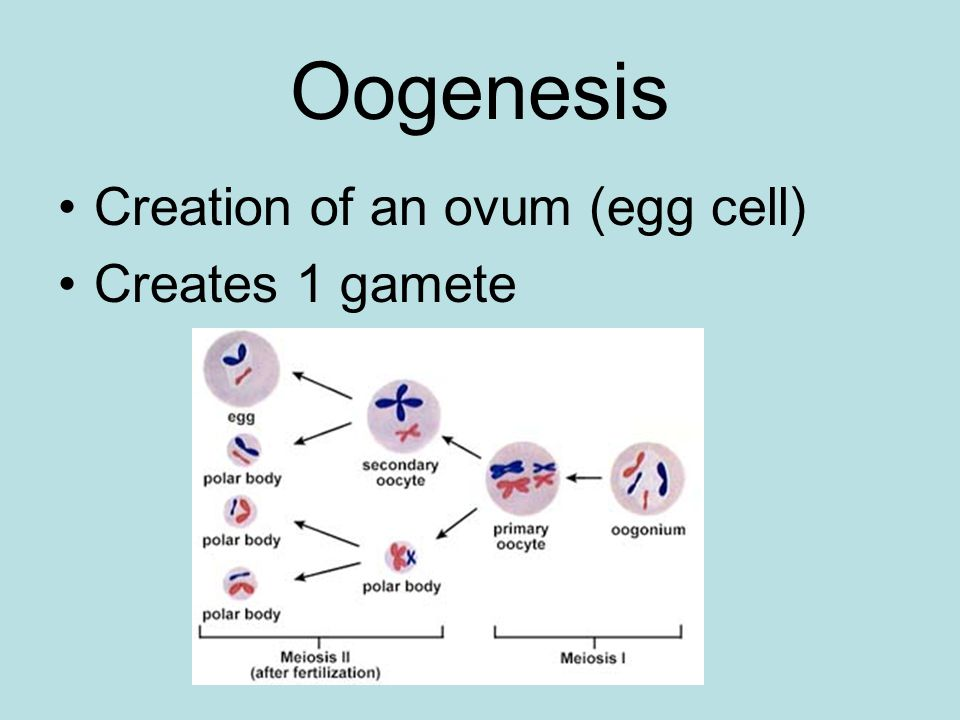 Oogenesis Creation of an ovum (egg cell) Creates 1 gamete