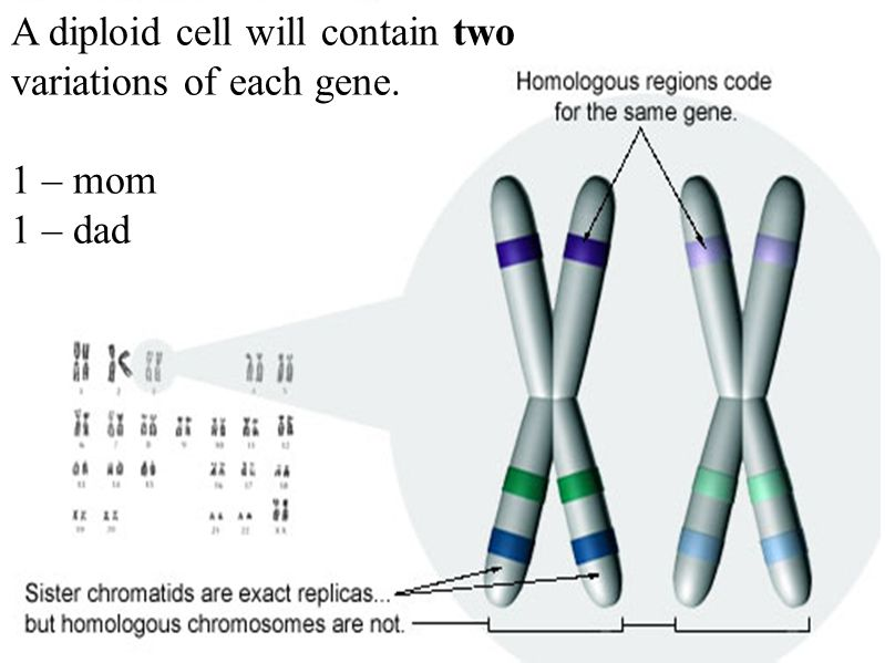 A diploid cell will contain two variations of each gene.