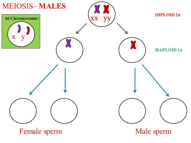 MEIOSIS– MALES x x x x y y y y x y Female sperm Male sperm DIPLOID 2n