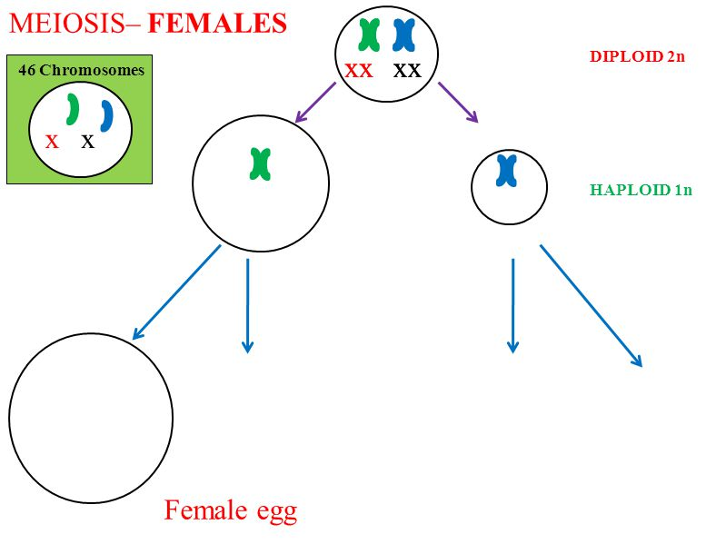 MEIOSIS– FEMALES x x x x x x x x x x Female egg DIPLOID 2n