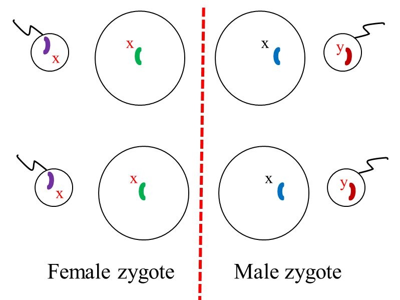 x x x y x x y x Female zygote Male zygote