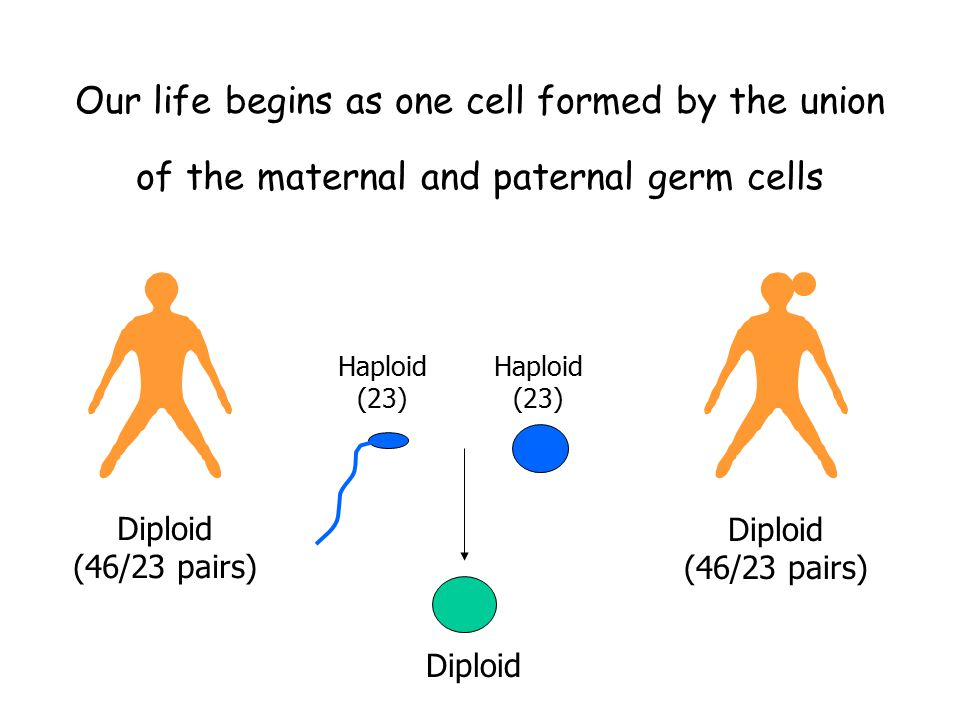 Our life begins as one cell formed by the union of the maternal and paternal germ cells