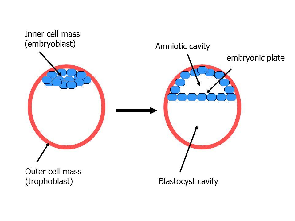 Inner cell mass (embryoblast) Amniotic cavity. Blastocyst cavity. embryonic plate. Outer cell mass.