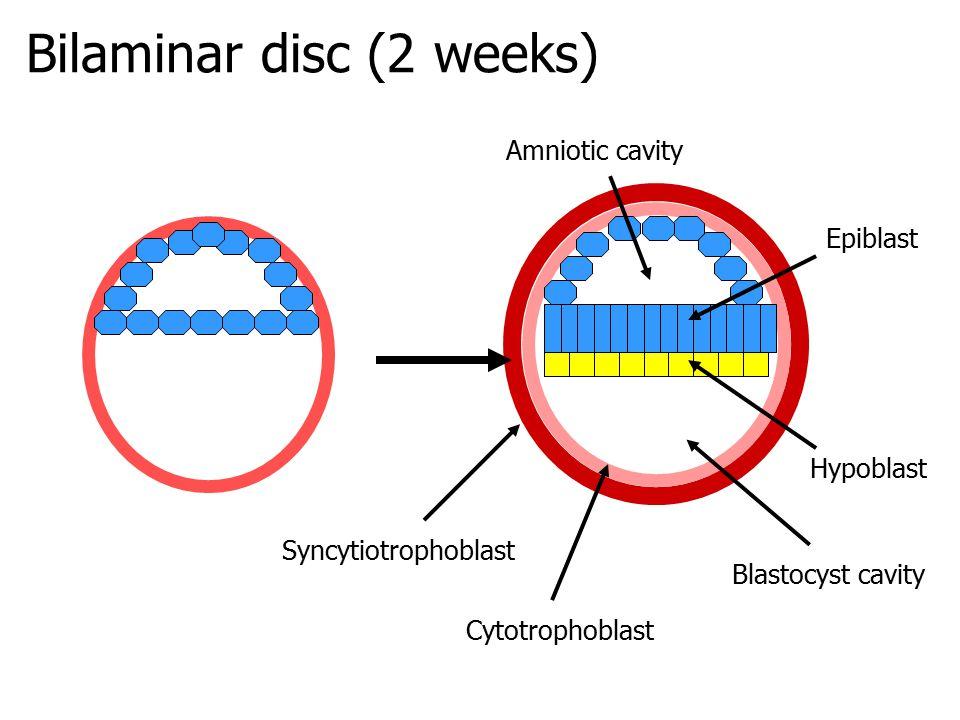 Bilaminar disc (2 weeks)