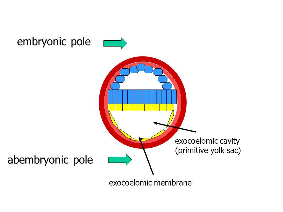 embryonic pole abembryonic pole exocoelomic cavity