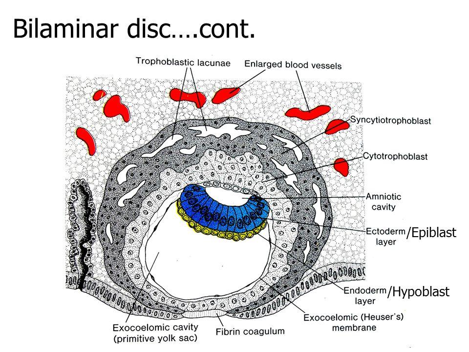 Bilaminar disc….cont. /Epiblast /Hypoblast
