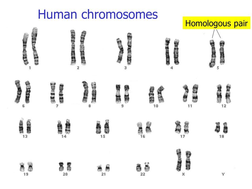 Human chromosomes Homologous pair
