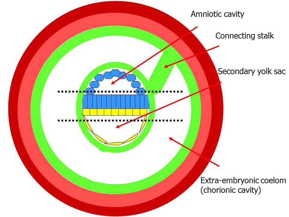 Amniotic cavity Secondary yolk sac Extra-embryonic coelom (chorionic cavity) Connecting stalk