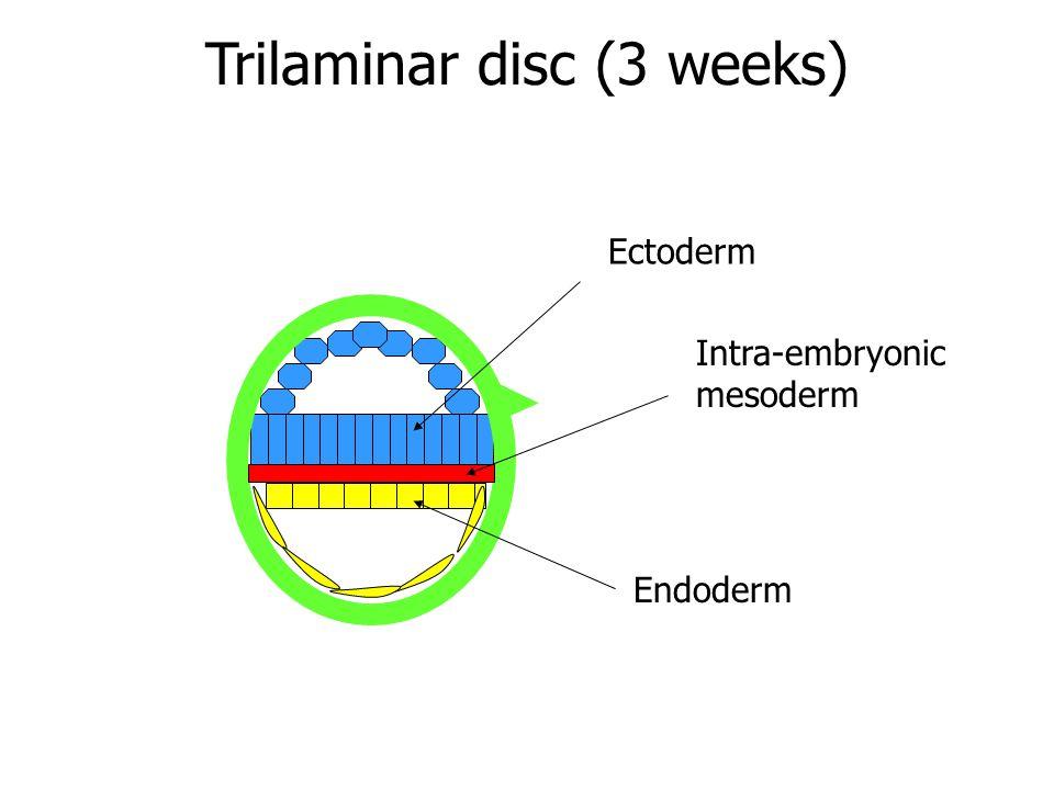 Trilaminar disc (3 weeks)