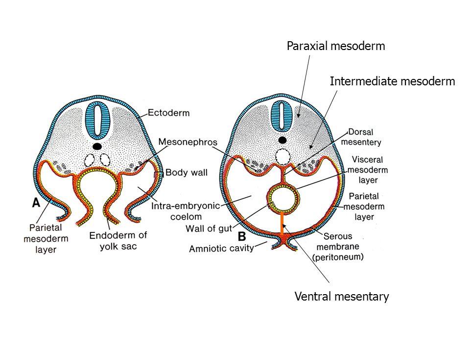 Paraxial mesoderm Intermediate mesoderm Ventral mesentary