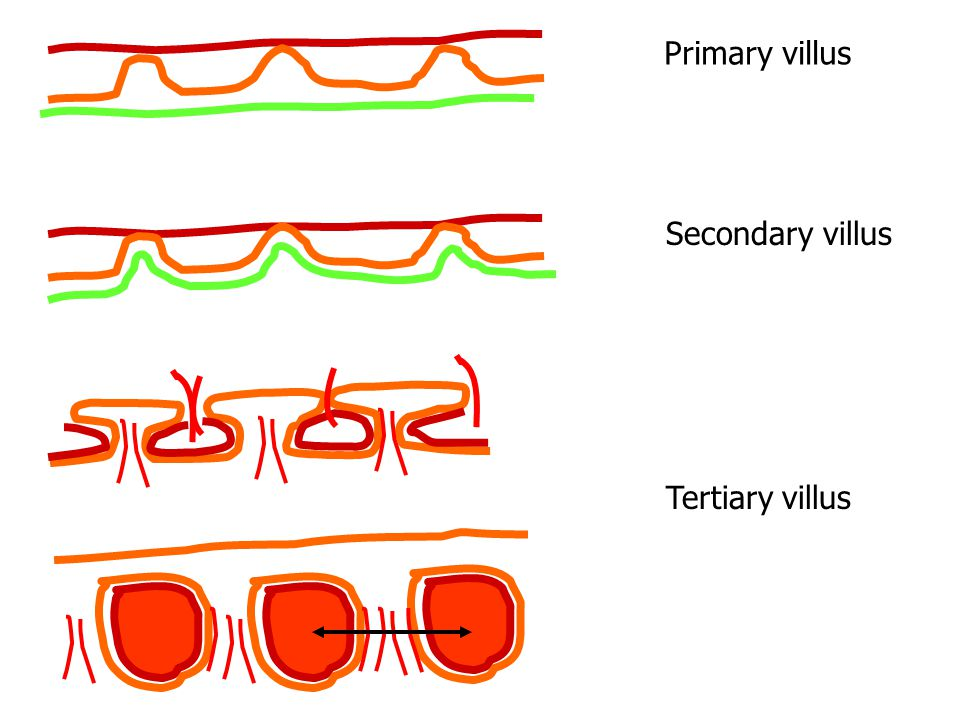 Primary villus Secondary villus Tertiary villus