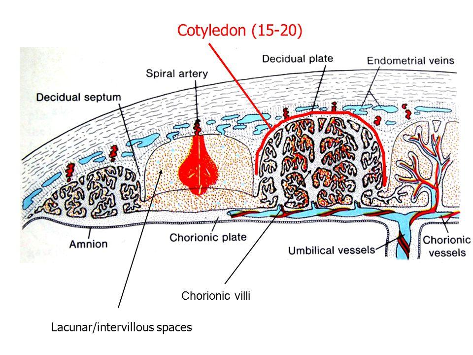 Cotyledon (15-20) Chorionic villi Lacunar/intervillous spaces