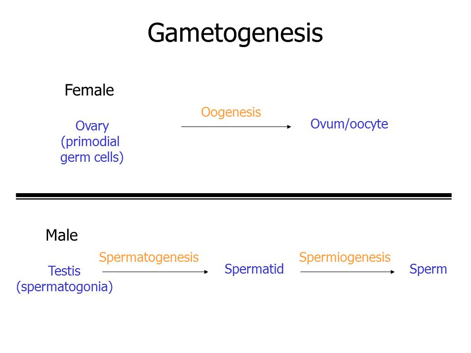 Gametogenesis Female Male Ovary Oogenesis (primodial germ cells)
