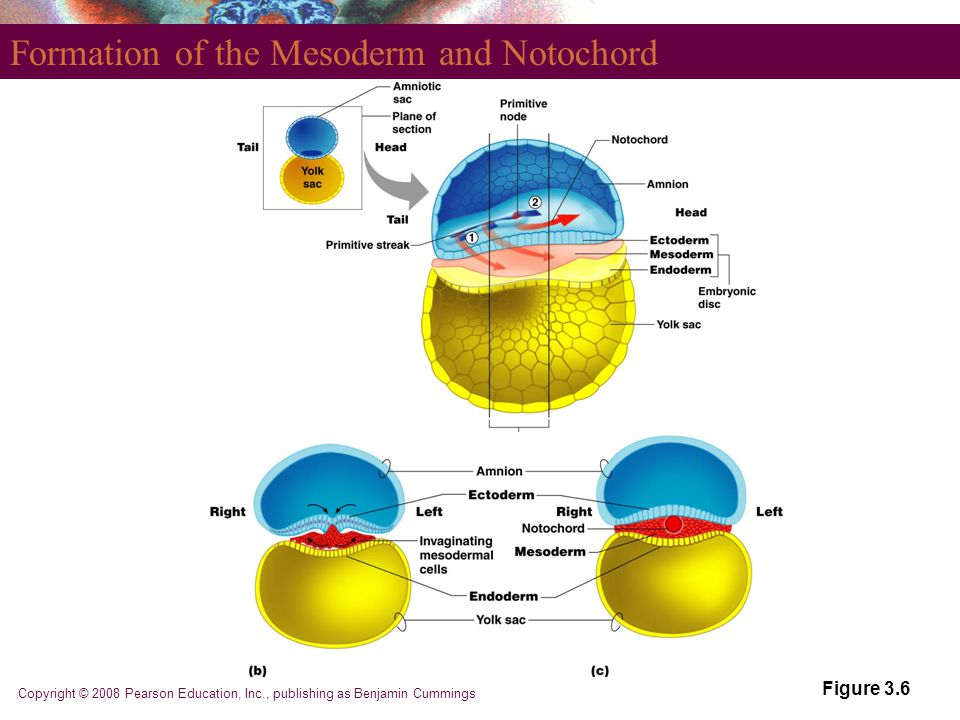 Formation of the Mesoderm and Notochord