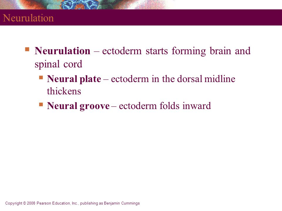 Neurulation – ectoderm starts forming brain and spinal cord