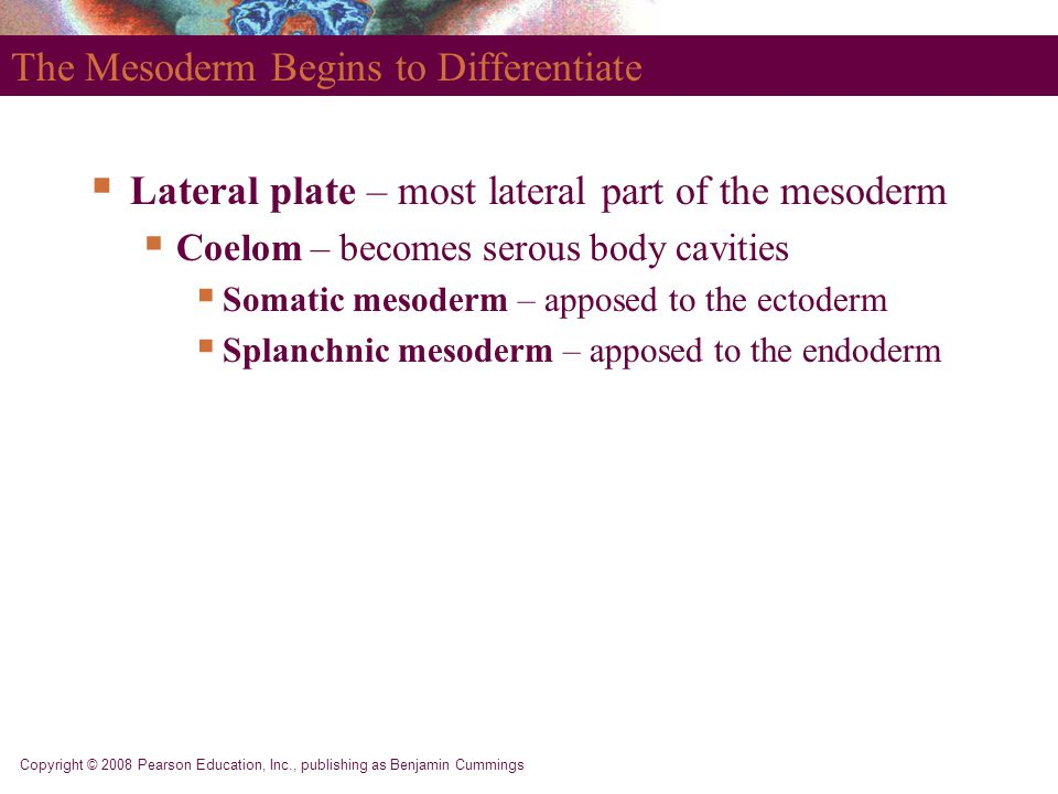 The Mesoderm Begins to Differentiate