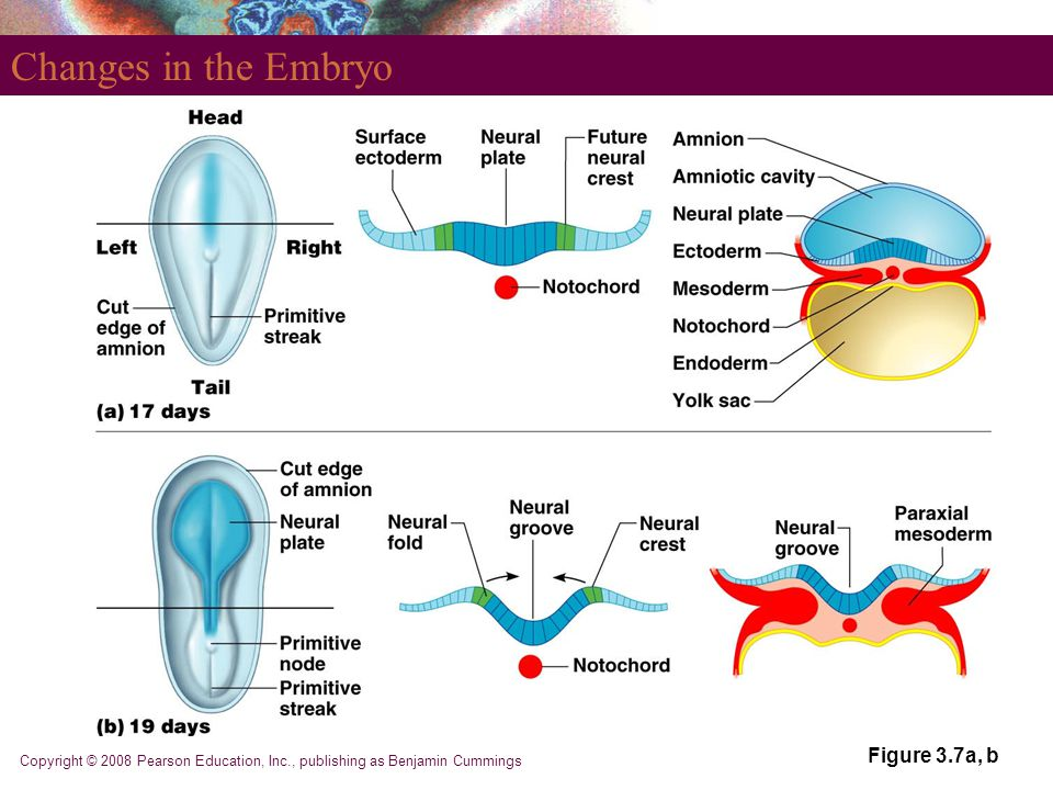 Changes in the Embryo Figure 3.7a, b
