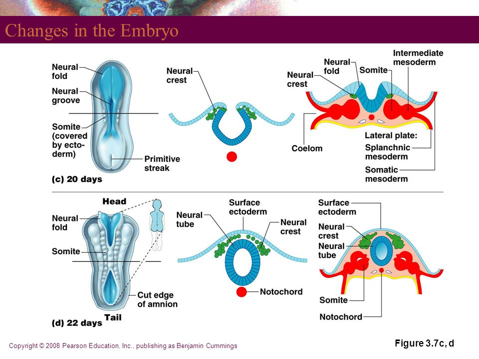 Changes in the Embryo Figure 3.7c, d