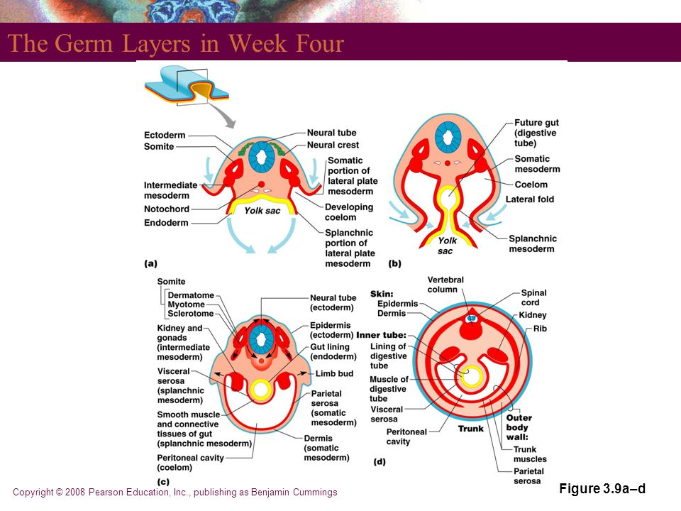 The Germ Layers in Week Four