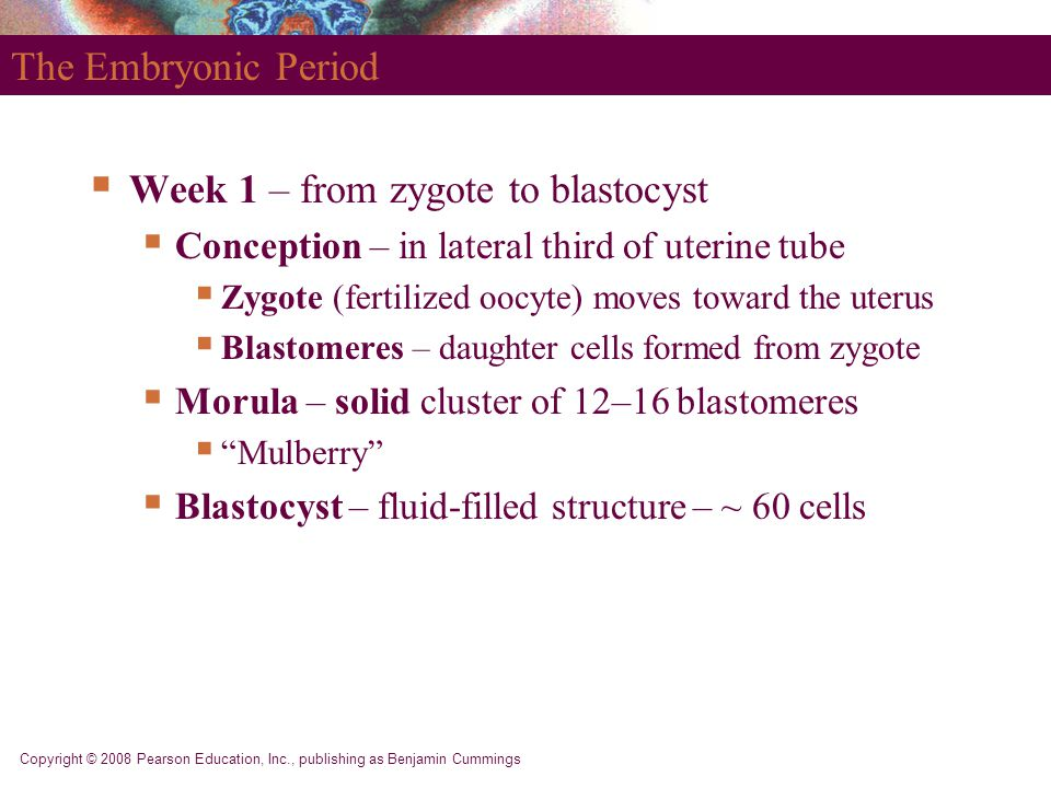 Week 1 – from zygote to blastocyst