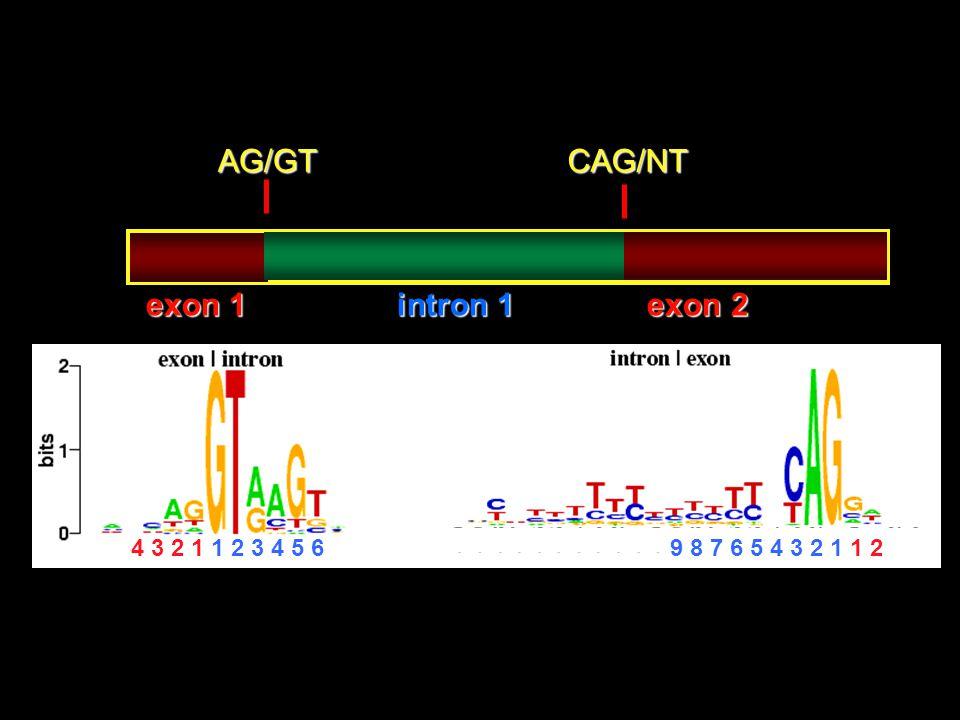 AG/GT CAG/NT exon 1 intron 1 exon 2 4 3 2 1 1 2 3 4 5 6