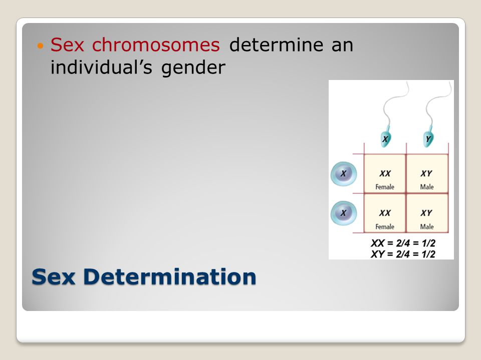 Sex chromosomes determine an individual's gender