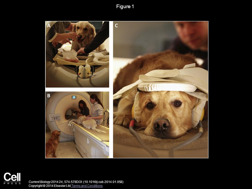 Figure 1 Steps of Positioning a Dog in the fMRI Scanner