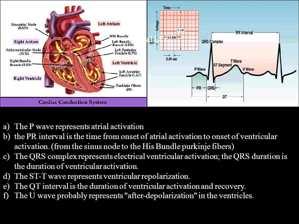 normal ECG The P wave represents atrial activation.