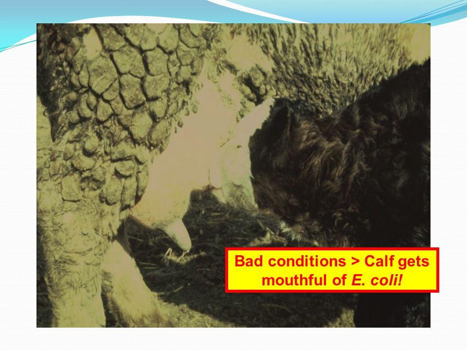 Bad conditions > Calf gets mouthful of E. coli!
