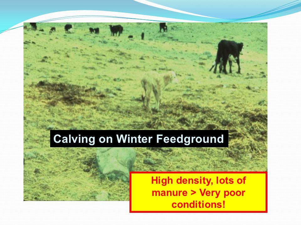 High density, lots of manure > Very poor conditions!