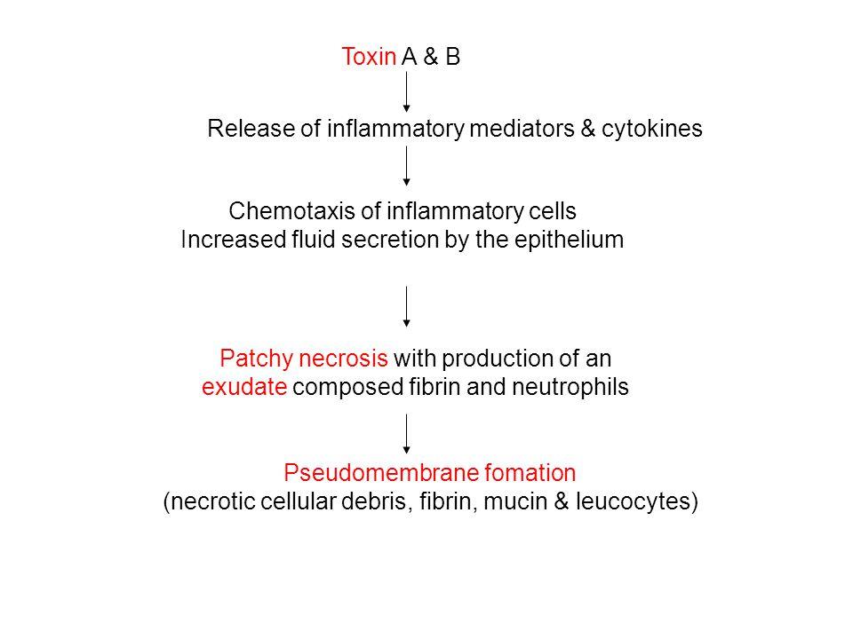 Release of inflammatory mediators & cytokines