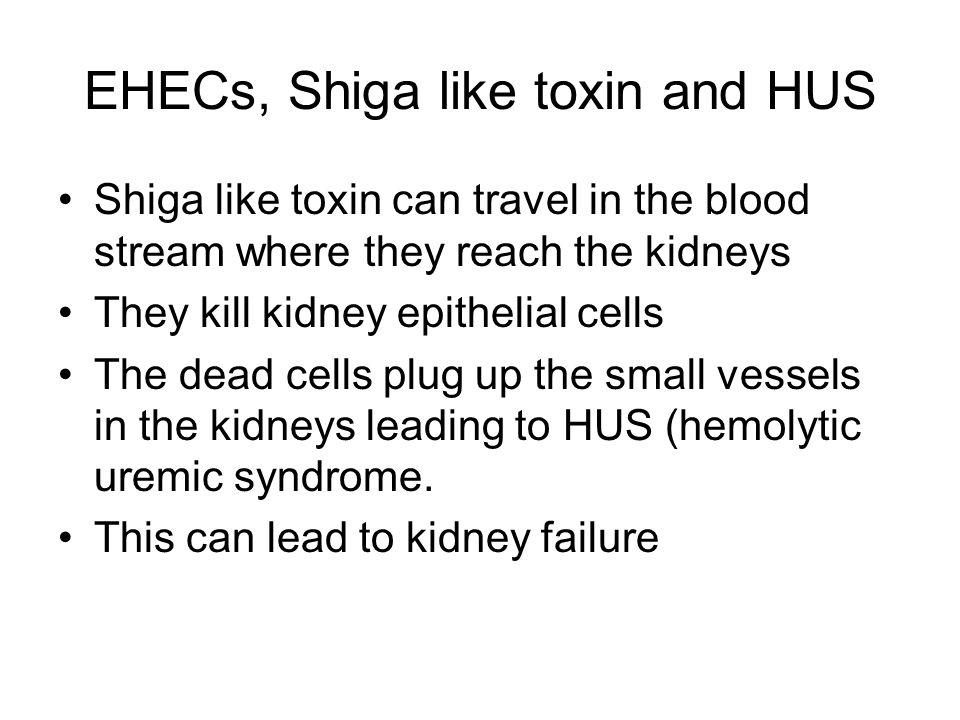 EHECs, Shiga like toxin and HUS